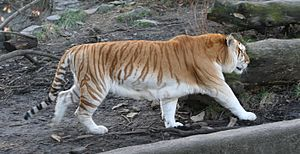 Goldener Tiger