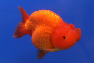 Ranchu - Image: Goldfish Ranchu 2