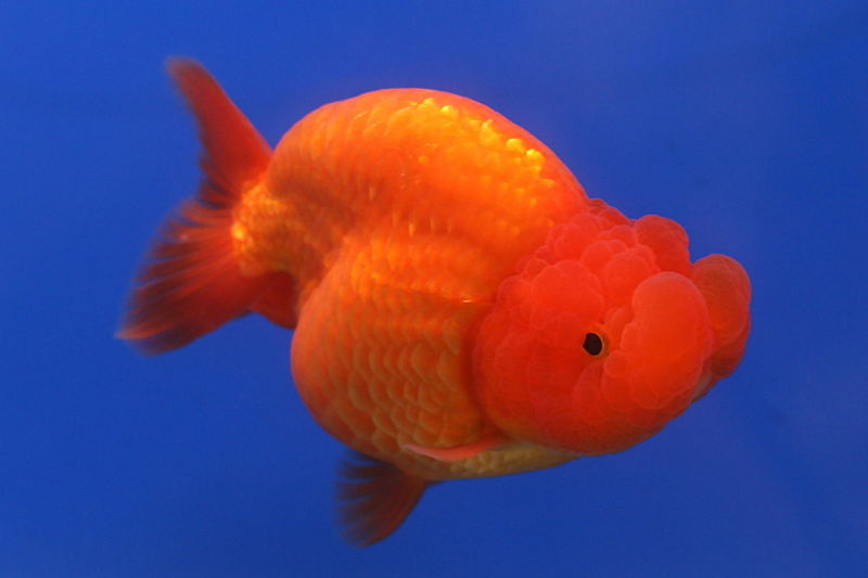 http://upload.wikimedia.org/wikipedia/commons/thumb/b/b7/Goldfish_Ranchu_2.jpg/800px-Goldfish_Ranchu_2.jpg