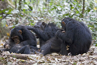 Chimpanzee - Chimpanzees grooming one another