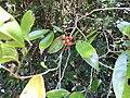 Goniothalamus thwaitesii-1-mundanthurai-tirunelveli-India.jpg