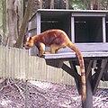 Goodfellow's tree-kangaroo at Currumbin Wildlife Sancturary, Queensland, Australia.jpg