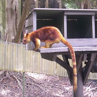 Tree-kangaroo - Goodfellow's tree-kangaroo at Currumbin Wildlife Sanctuary, Queensland, Australia