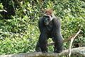 Gorilla gorilla01.jpg
