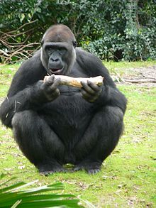 Gorilla gorilla gorilla12.jpg