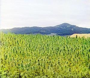 Маньчжурская конопля википедия легализация марихуаны в казахстане 2017