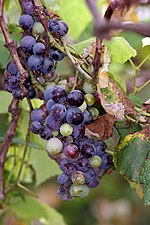 File:Grape Plant and grapes1.jpg