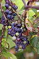 Grape Plant and grapes1.jpg