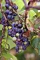 Grape Plant and grapes1.jpg