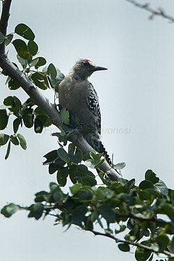 Gray-breasted Woodpecker - Mexico S4E9436 (16224575167).jpg