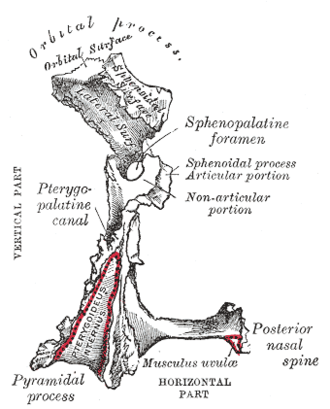 Greater palatine canal - Left palatine bone. Posterior aspect. Enlarged. (Pterygopalatine canal labeled at center left.)