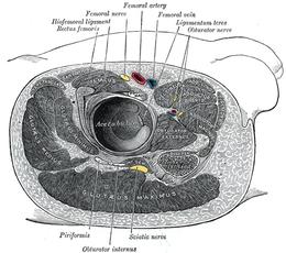 Nervo otturatorio wikipedia for Muscolo interno coscia nome