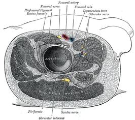 Doorsnede ter hoogte van rechterheup met de musculus gluteus maximus onderaan zichtbaar.