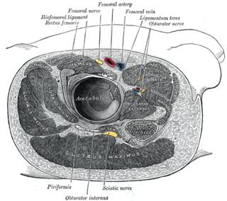 Obturator nerve nerve in human anatomy