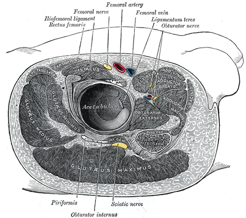Iliofemoral ligament - Wikiwand