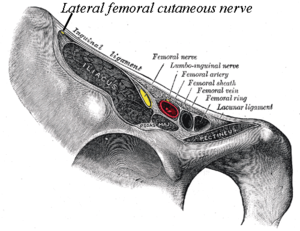 Lateral cutaneous nerve of thigh - Image: Gray 546 LFC