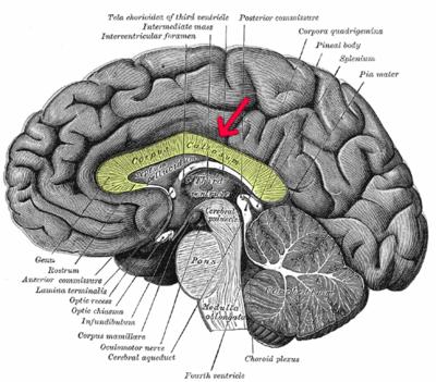 部 膨大 脳 梁 脳梁の発生