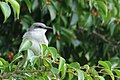 Gray Kingbird in a tree (14827756240).jpg