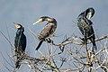 Great cormorants 04.jpg