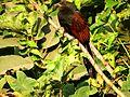 Greater Coucal Centropus sinensis at Kolkata West Bengal DSCN0160 1 photograph by Sumita Roy Dutta.jpg