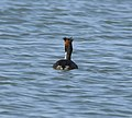 Greater Crested Grebe at AMSM4275.jpg