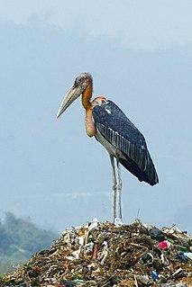 Greater adjutant Species of bird
