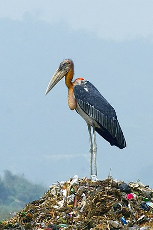 Greater adjutant - Adult at a garbage dump in Assam
