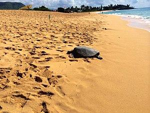 Mākaha, Hawaii - Green sea turtle at Mākaha Beach Park, January 2014.