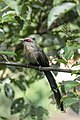 Green-billed Malkoha (हरित मालकौवा).jpg