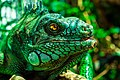 Green Iguana iguana head.jpg