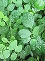 Green Leaf - panoramio.jpg
