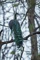 Green Peafowl - Thailand S4E8495 (15362422410).jpg