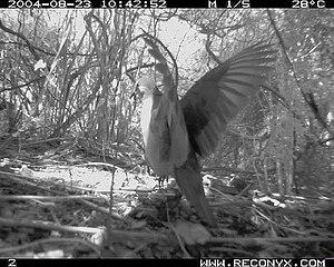 Grenada dove - Grenada dove. Concord River Watershed. Black Bay Delta, Grenada W.I. 2004