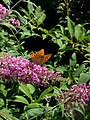 Grenchen - Argynnis paphia on Buddleja flowers v2.jpg
