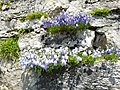 Grenchenberg - Campanulaceae on wall.jpg