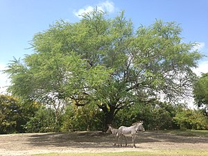 Zoo Miami - A pair of Grevy's zebra.
