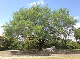 Zoo Miami - A pair of Grevy's zebra.