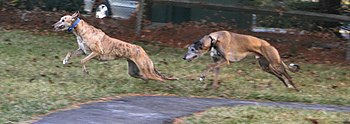 Two brindle Greyhounds named Bonnie and Jimbo ...