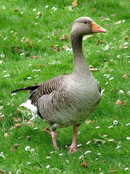 Fichier:Greylag Goose (Anser anser).jpg