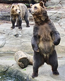 Grizzly Pair at the Cleveland Zoo in two different postures