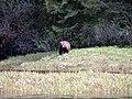 Grizzly on the Nekite River Estuary - panoramio - Jack Borno.jpg
