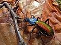 Ground Beetle (Chrysotribax hispanus) (8334934178).jpg