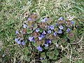 Ground Ivy - Glechoma hederacea - geograph.org.uk - 1247588.jpg