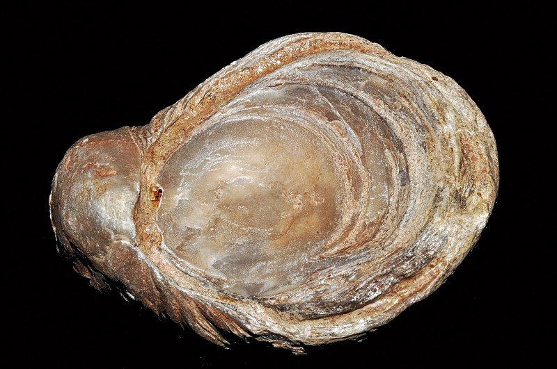 File:Gryphaea arcuata Lamarck, 1801 (France) 2.JPG