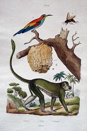 """Félix Édouard Guérin-Méneville - Illustration from Dictionnaire Pittoresque d'Histoire Naturelle, Paris 1836-1839. Plate 194 """"Guenon - Guepe - Guepier"""""""