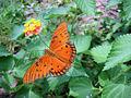 Gulf Fritillary Butterfly on a Lantana 17.jpg