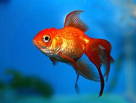 Een goudvis (Carassius auratus oranda).