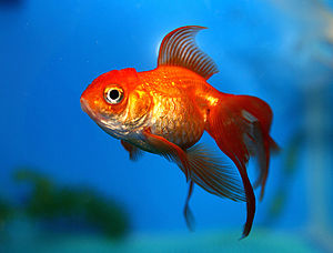 Koinophilia - Domestic gold fish