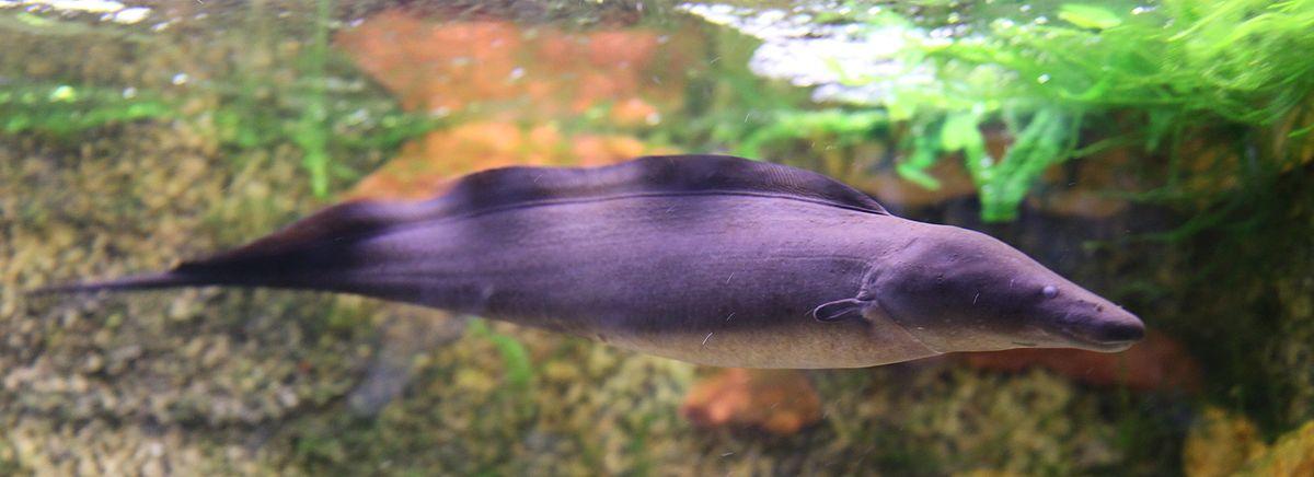gymnarchus niloticus