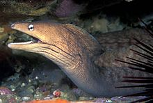 Gymnothorax nubilus (Grey moray).jpg